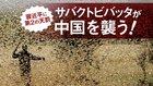 習近平に第2の天罰 サバクトビバッタが中国を襲う!
