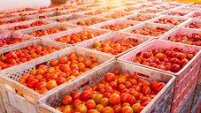 カゴメがウイグル産のトマト加工品を使わないと英断 追随する日本企業は現れるか?