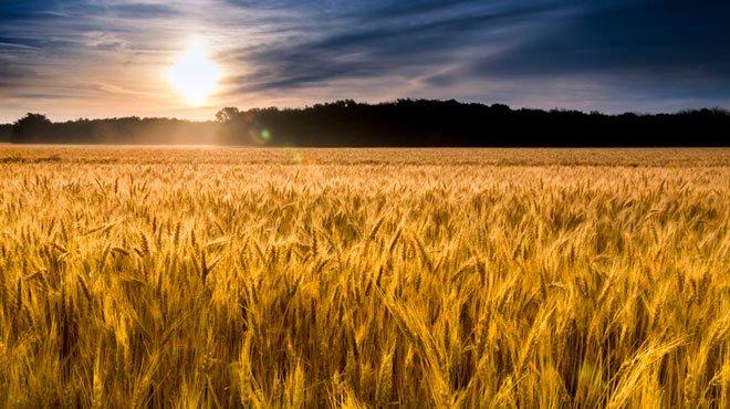 政府が輸入小麦価格を19%値上げ 背後に中国がひた隠しにする食糧危機